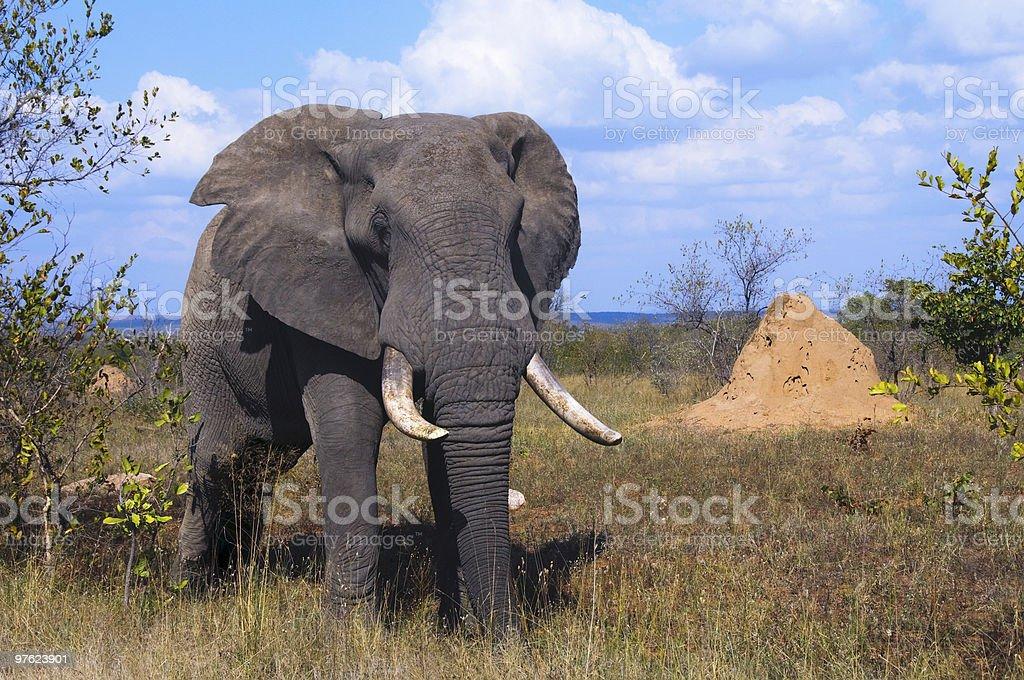 Elepant en Afrique du Sud photo libre de droits