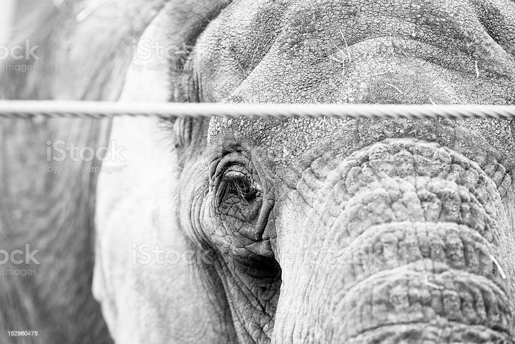 Elepfant in Gefangenschaft aufgezogen Lizenzfreies stock-foto