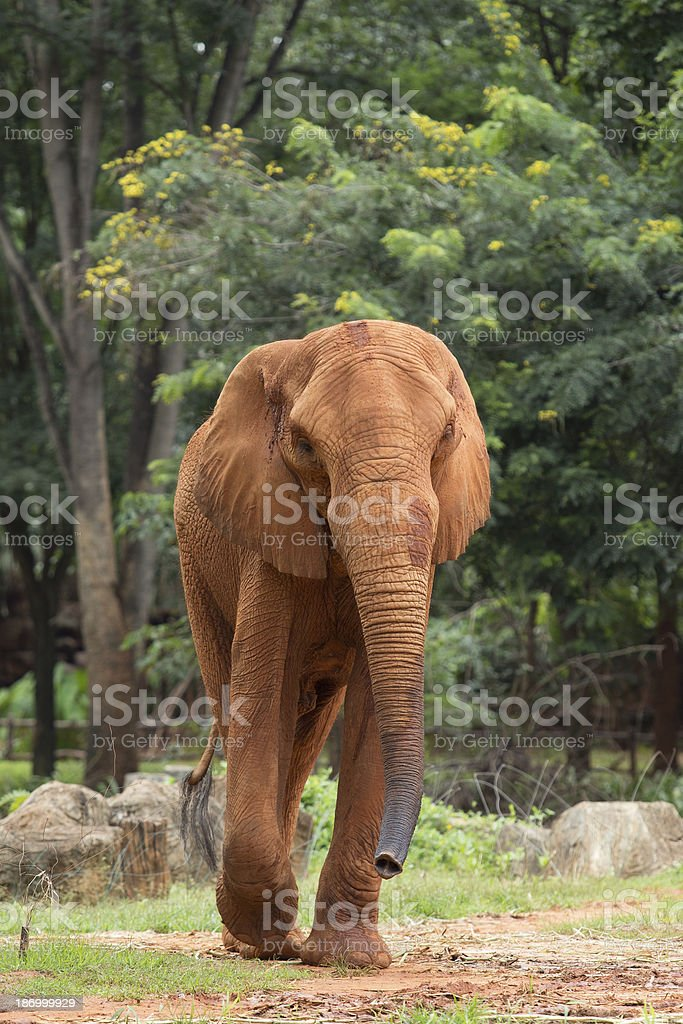 elephant africa stock photo