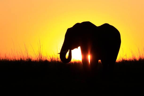 elefant afrika silhouette sonnenuntergang rasen sonne orange - elefanten umriss stock-fotos und bilder