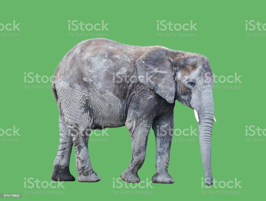 Elephant Against Green screen stock photo