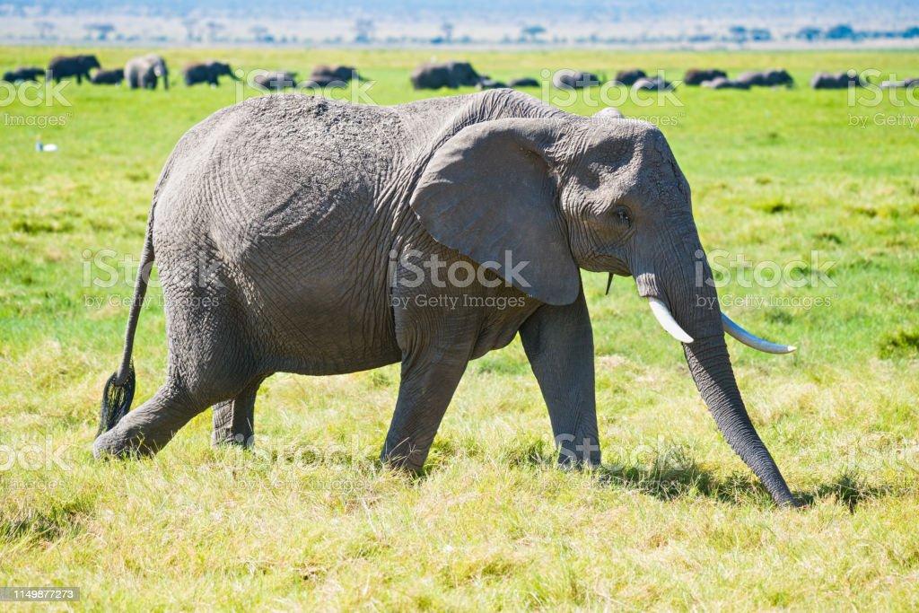 Elephant against herd stock photo