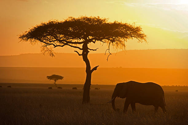 Elephant and acacia picture id509704479?b=1&k=6&m=509704479&s=612x612&w=0&h=625bv9joc dq9ypgbrbjlaprs4l584vncahzfnlqosc=