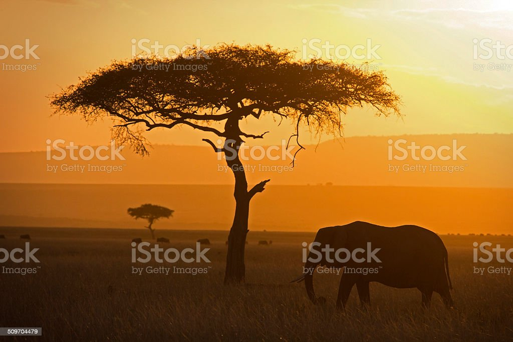 Elephant and acacia stock photo