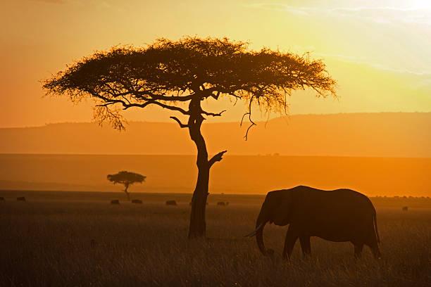 elefant und acacia - elefanten umriss stock-fotos und bilder