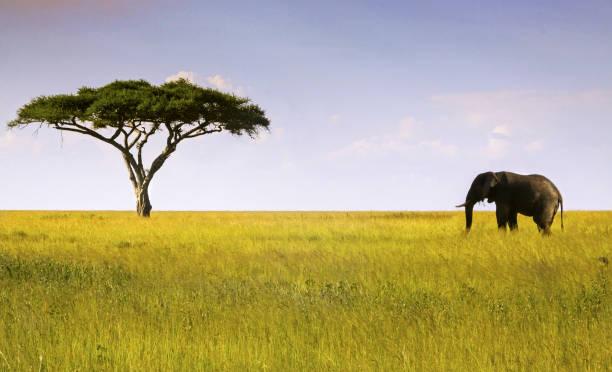 Elephant and Acacia Tree in Serengeti National Park stock photo