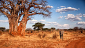 Evening light in Tarangire National park, Tanzania. Tarangire is famous for both it's elephants and it's Baobab trees.