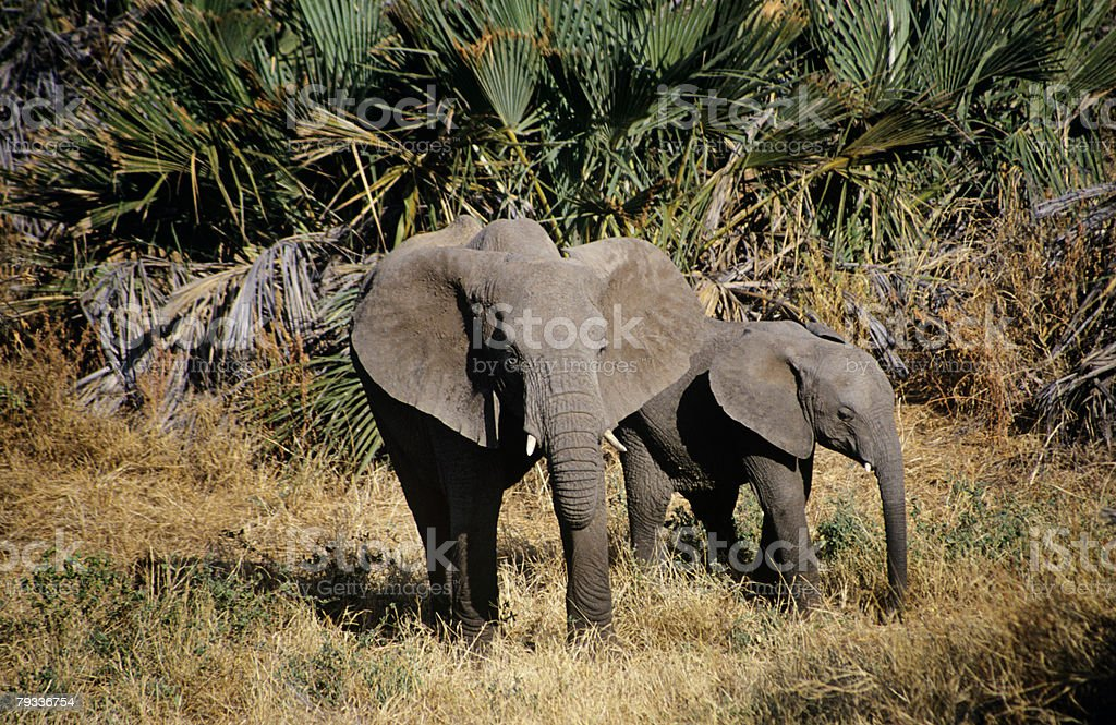 Elephant and calf royalty-free stock photo