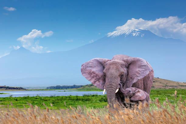 Elephant and Calf with Mount Kilimanjaro, Mawenzi Peak at Amboseli National Park Elephant and Calf with Mount Kilimanjaro, Mawenzi Peak at Amboseli National Park with Amboseli Lake elephant calf stock pictures, royalty-free photos & images