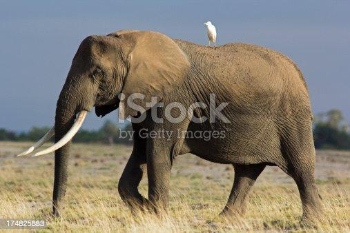 182061384 istock photo Elephant and egrit 174825883