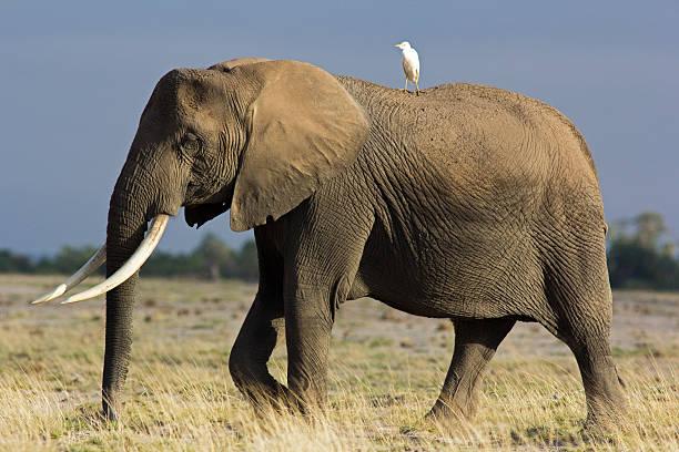 Elephant and egrit