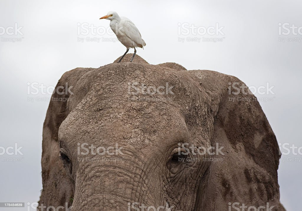 Elephant and Great Egret stock photo