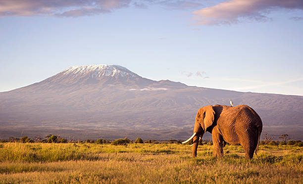 Elephant and Kilimanjaro Classic safari scene of a large bull elephant against a Kilimanjaro backdrop at sunrise.  Cattle egret visible perched on the elephants back. Amboseli national park, Kenya. east africa stock pictures, royalty-free photos & images