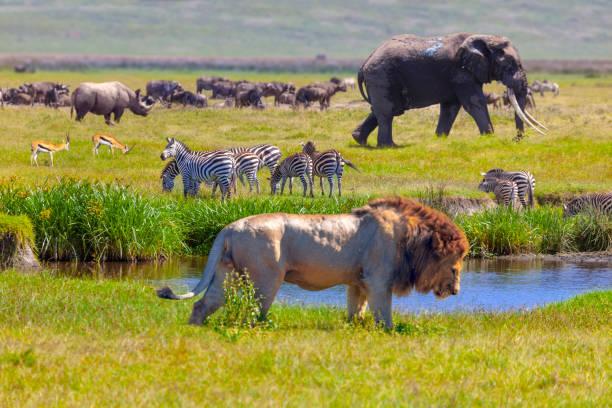 elefante e leone - fauna selvatica foto e immagini stock