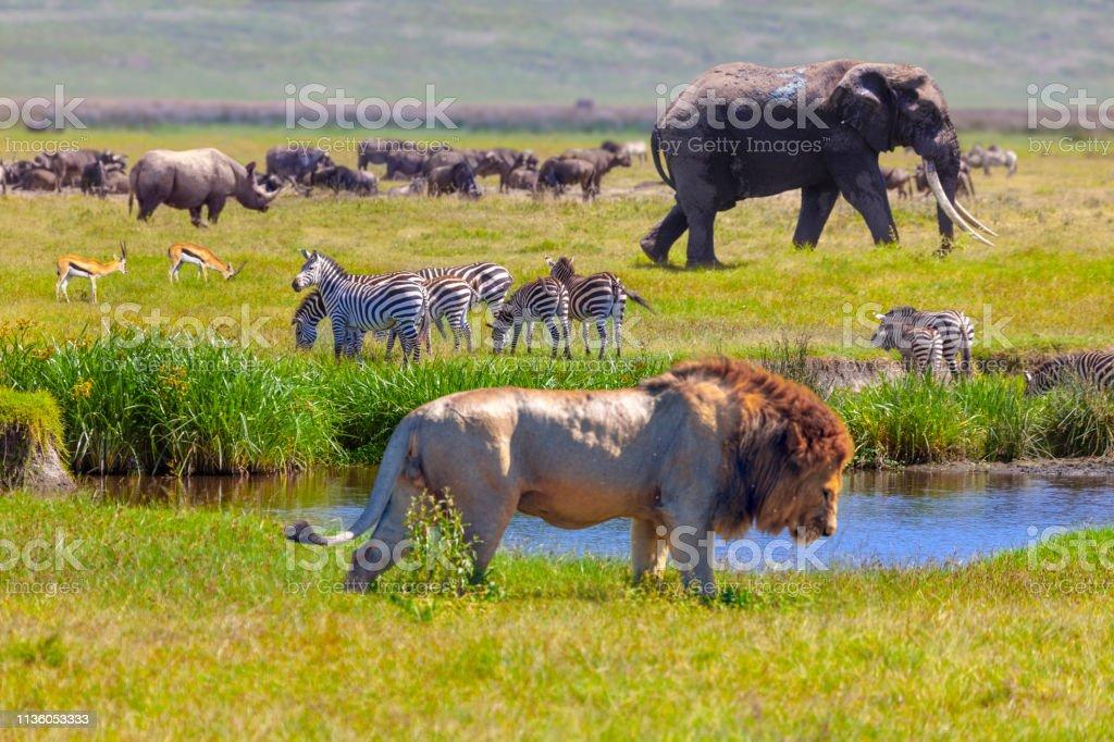 Elefante y León - foto de stock
