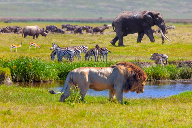 Elephant and lion Rhino, Springboks, zebra, Elephant and lion in Serengeti National Park, Tanzania. animal stock pictures, royalty-free photos & images