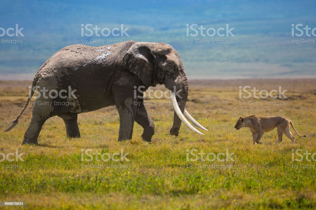 Elephant and lion Elephant and lion in Serengeti National Park, Tanzania. Africa Stock Photo