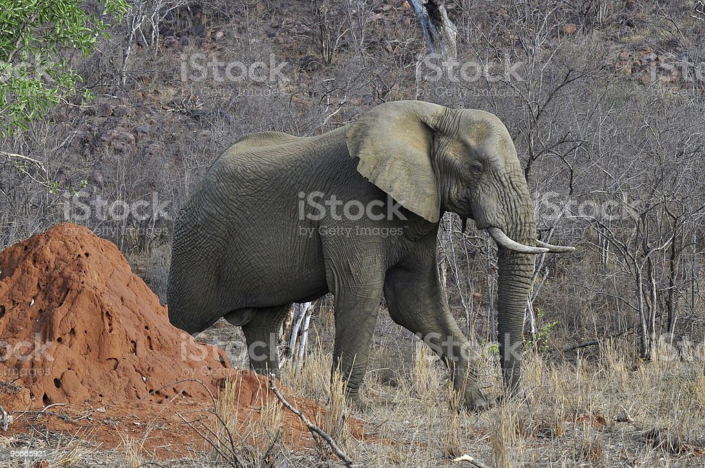 elephant and termitary royalty-free stock photo