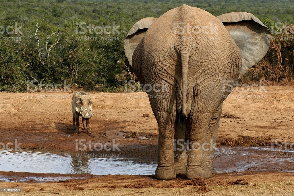 Elephant and Warthog stare down royalty-free stock photo