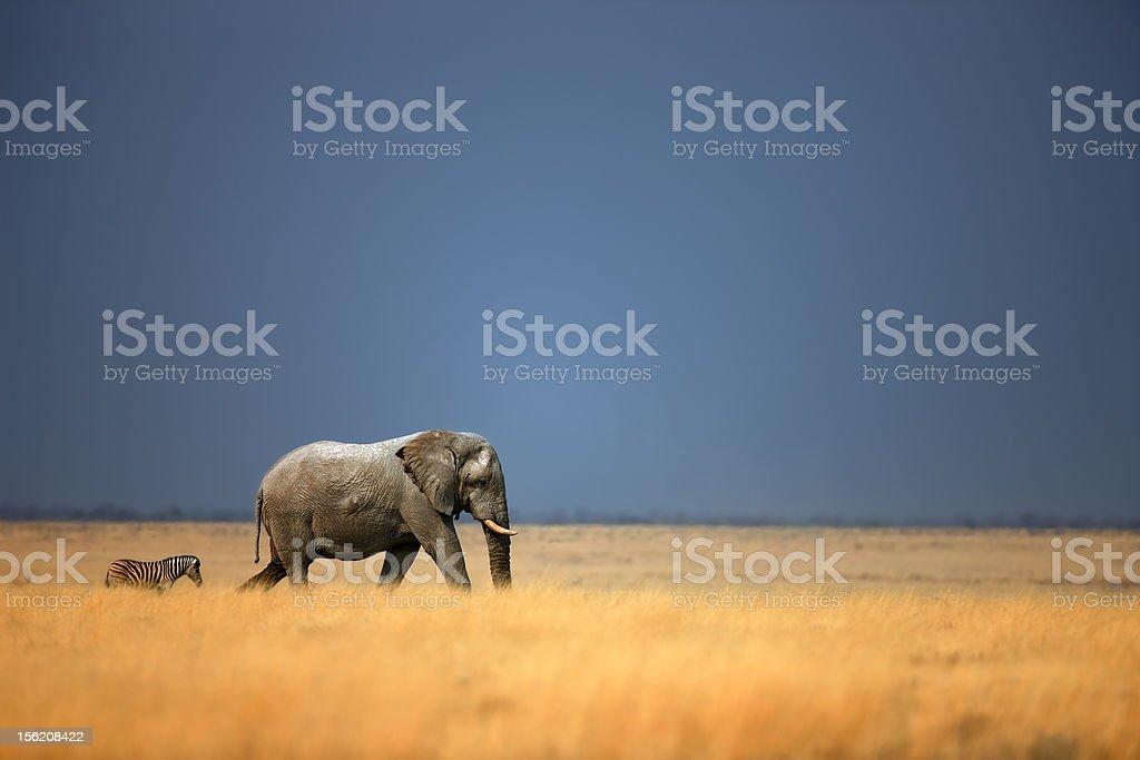 Elephant and zebra stock photo