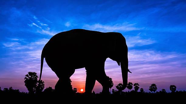elephant andppalm baum auf der abenddämmerung zeit - elefanten umriss stock-fotos und bilder