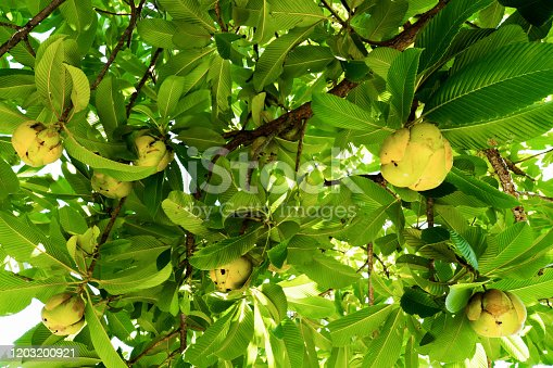 Elephant apple fruit on tree with leaves background. Dillenia Indica fruit or Evergreen tree fruit with green leaves and branches. (DILLENIACEAE)