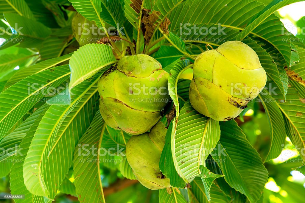 Elephant apple on tree or Chalta of South East Asia stock photo