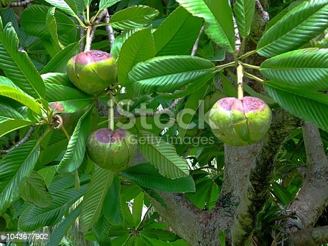 Elephant Apple, also known as Chulta, is a beautiful fruit tree with Magnolia-like fragrant flowers and glossy long and pleated leaves. Large, round fruit is edible and tastes like unripe apple.