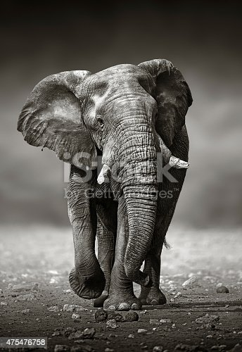 istock Elephant approach from the front 475476758