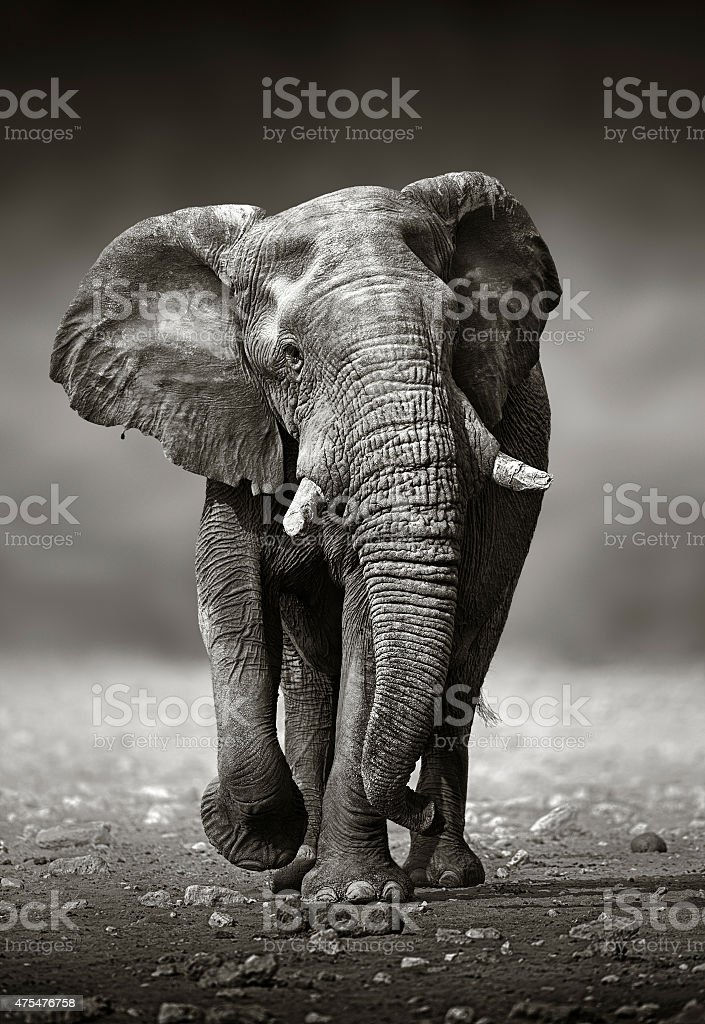 Elephant approach from the front stock photo