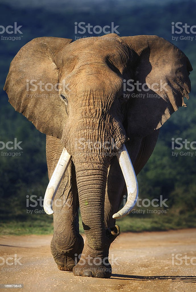Elephant approaching stock photo