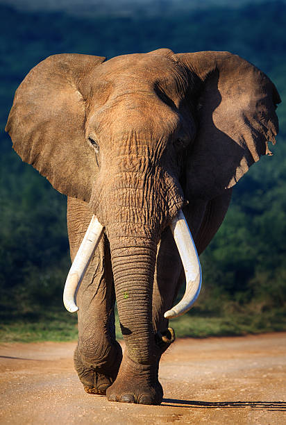 Elephant approaching Elephant with large teeth approaching - Addo National Park tusk stock pictures, royalty-free photos & images