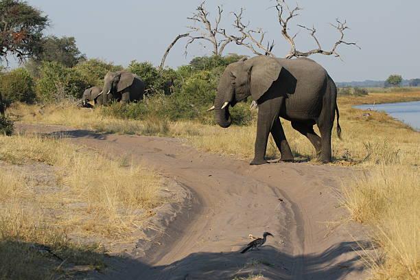 Elephant at Horseshoe near Kwando River in Bwabwata National Park stock photo