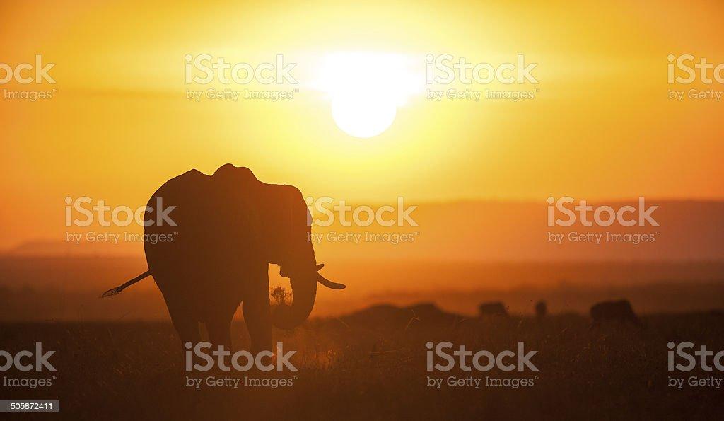 Elephant at sunset royalty-free stock photo