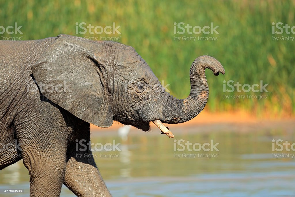 Elephant at waterhole stock photo