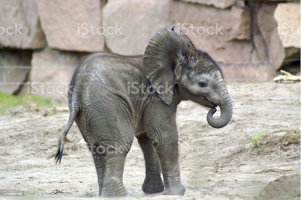 elephant baby 1 stock photo