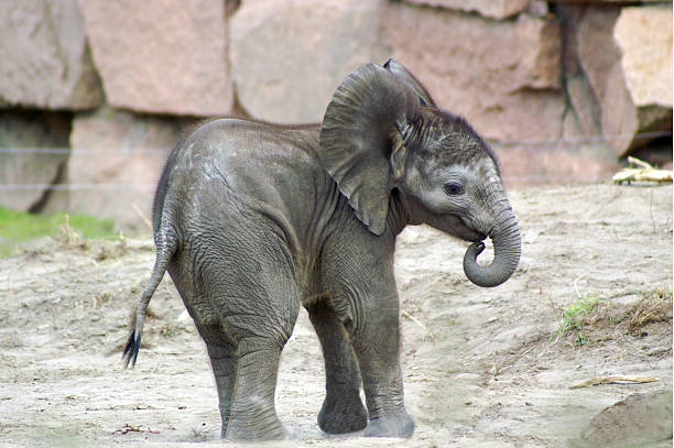 elephant baby 1 little elephant calf born in 2006 elephant calf stock pictures, royalty-free photos & images