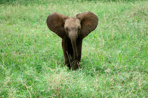 Elephant baby Elephant baby calling his mama. elephant calf stock pictures, royalty-free photos & images