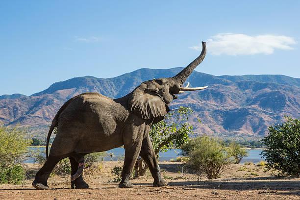 elephant, rücken, mountain - fluss sambesi stock-fotos und bilder