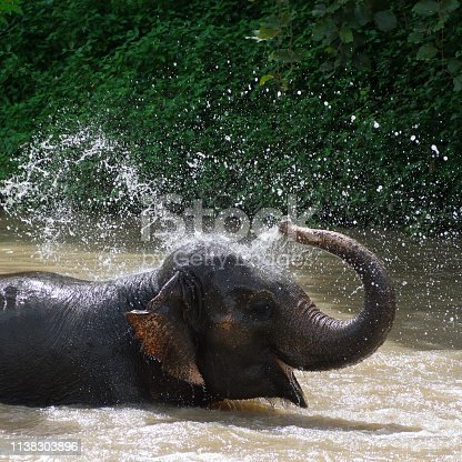 Thai elephants taking a bath on river in Thai Elephant Conservation Center, Lampang Thailand.