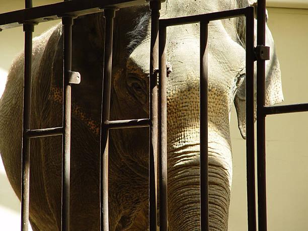 Elephant Behind Bars stock photo