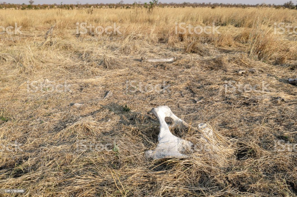 Elephant bones in arid landscape Hwange National Park stock photo