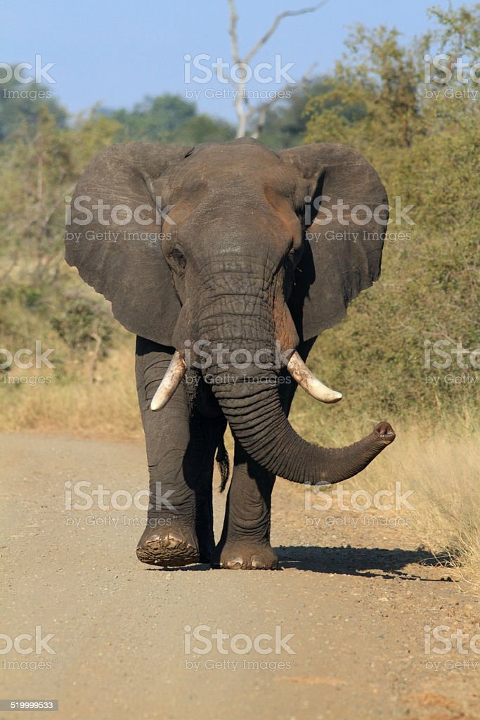 African Elephant Bull Walking Front On Africa Animals Wild