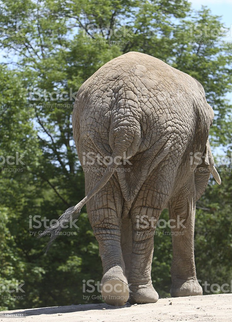 Elephant Butt royalty-free stock photo