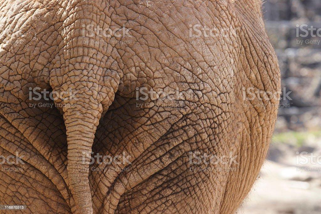 Elephant Butt Tail Wrinkled Animal Back royalty-free stock photo