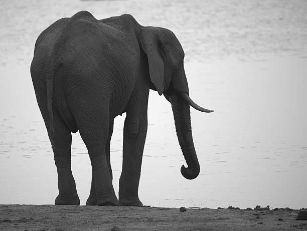 elefant von wasser - elefanten umriss stock-fotos und bilder