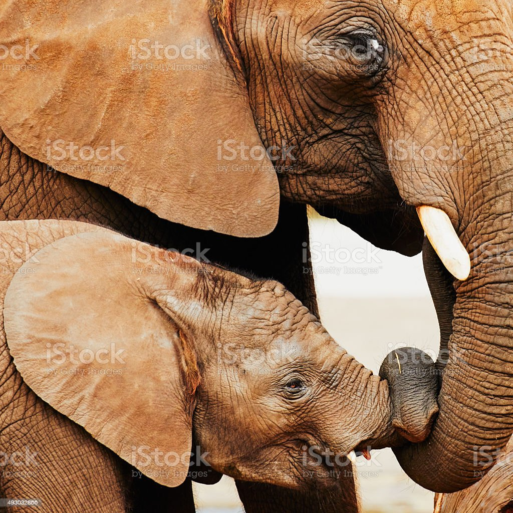 Elephant calf and mother close together stock photo