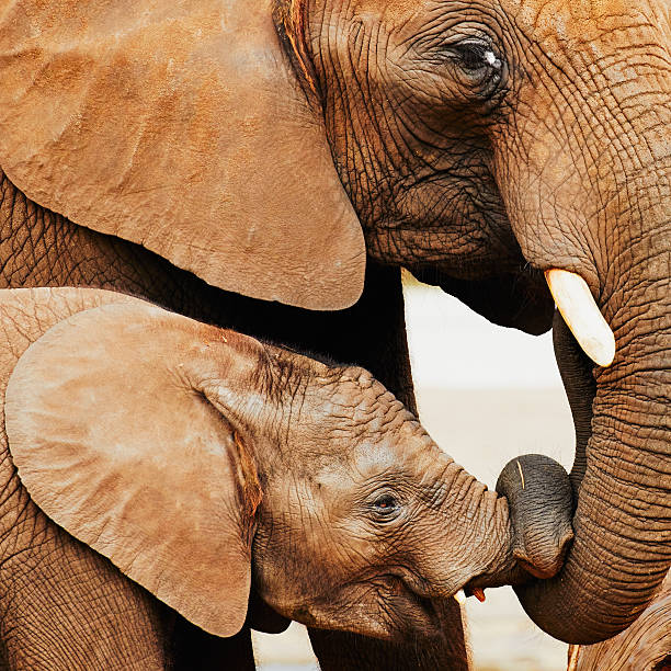 Elephant calf and mother close together Baby elephant and mother close together with their trunks twisted together elephant calf stock pictures, royalty-free photos & images