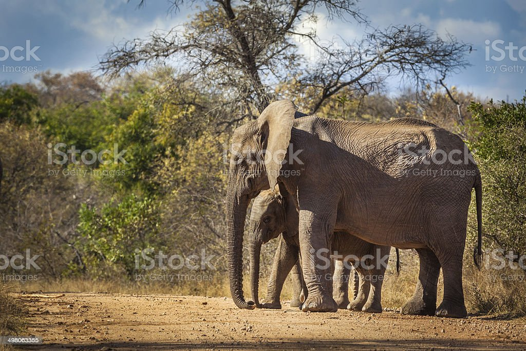 Elephant calf and mum stock photo