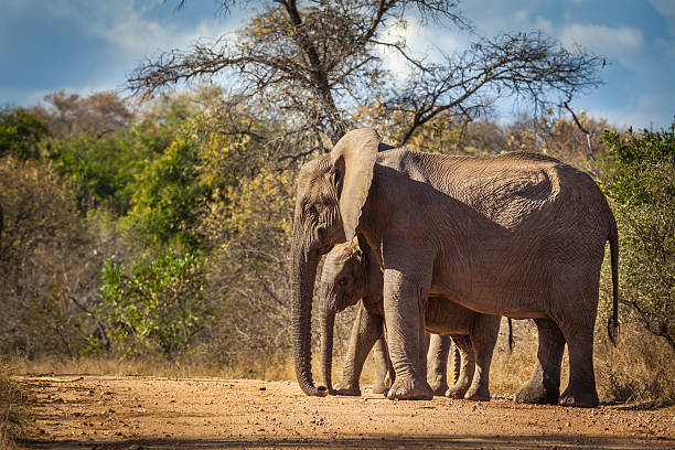 Elephant calf and mum stock photo
